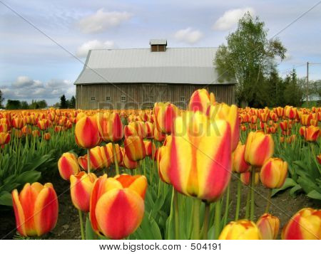 Barn And Tulip Close Up