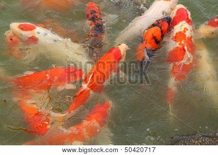 Beautiful Koi Fish Swimming