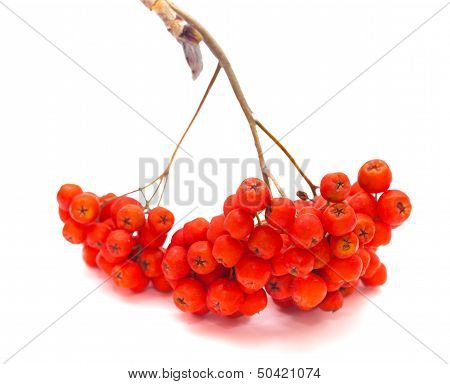 Ash Berry Cluster Isolated
