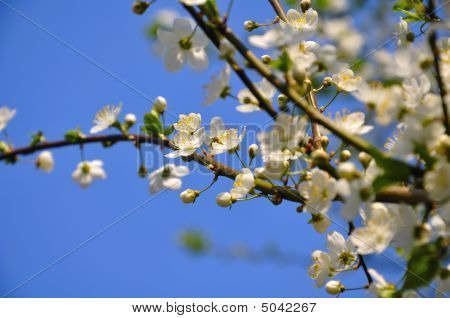 Beautiful Cherry Tree