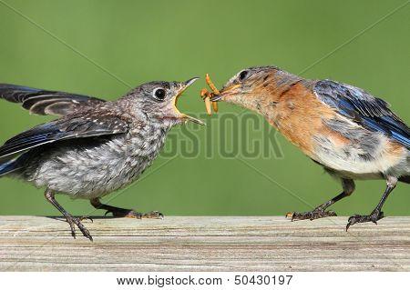 Female Eastern Bluebird With Baby