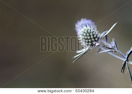 Sea Holly Blue With Space For Text