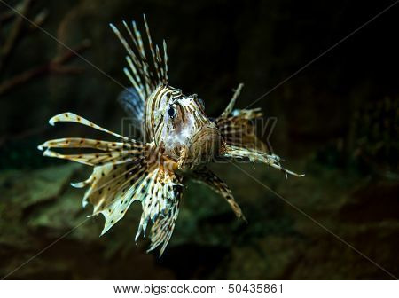 Pterois radiata in an aquarium on a dark background