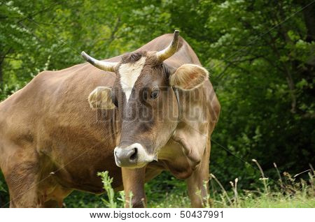 Brown Cow Feeding