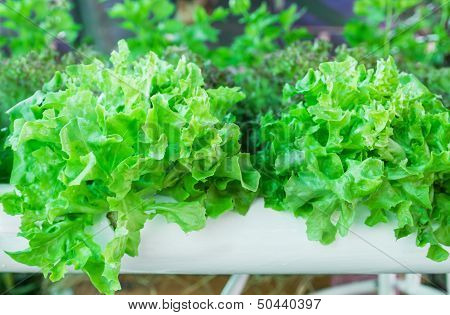 Lettuce In The Greenhouse