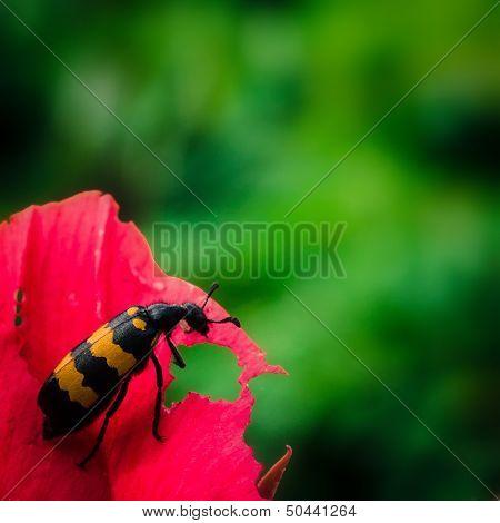 Burying Sexton Beetle