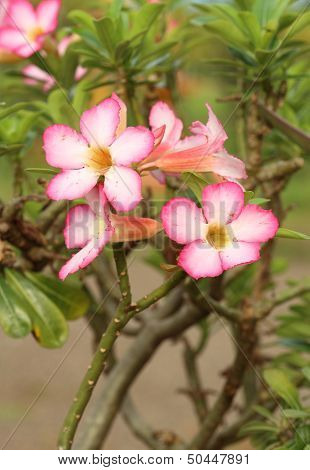 Tropical Flower Pink Adenium