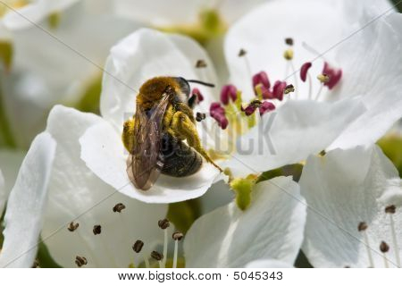 Bee Collecting Honey On White Flowers