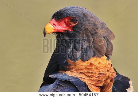 Bateleur Eagle - Wild Bird Background from Africa - Iconic Stare of the Proud and Powerful