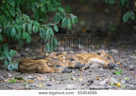 Resting young wild pigs