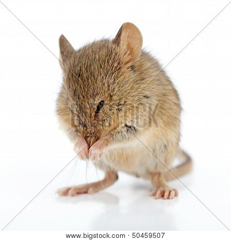 House Mouse Cleaning Himself
