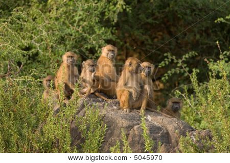 Baboons Watching