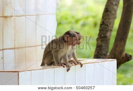 Two Young Indian Rhesus Macaque Monkeys (macaca Mulatta) Playing