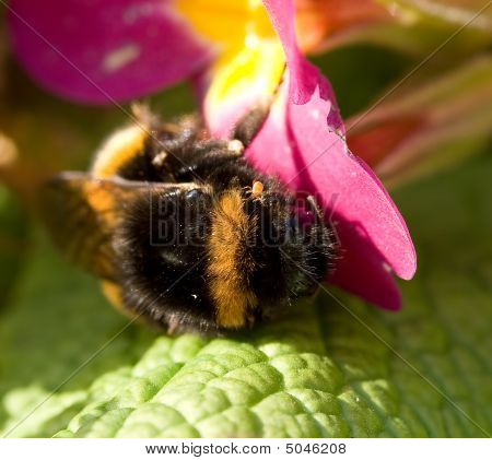 Macro Of Bumblebee And Mite
