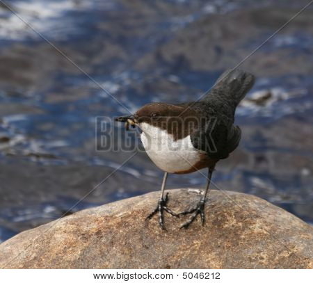 Dipper On Rock In Scottish River