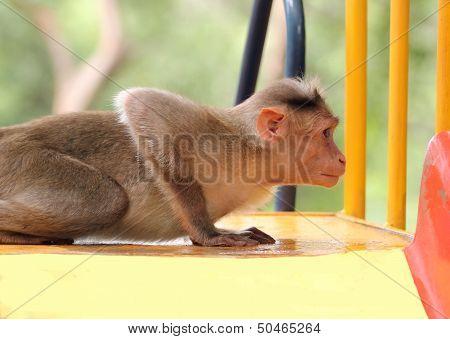 Indian Rhesus Macaque Monkey (macaca Mulatta) Playing In A Park