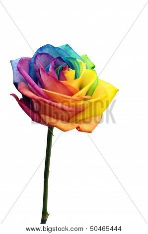 Close Up Of Rainbow Rose Flower