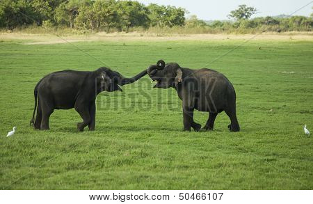 Two Young Male Elephantys Play Fighting