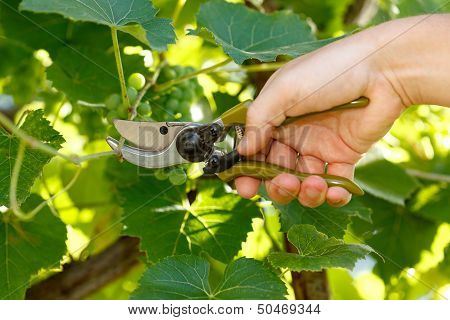 Pruner Cutting Grape Tree