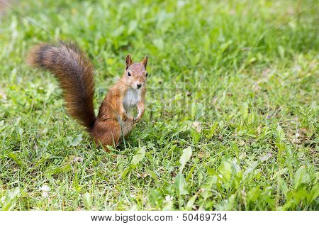 Hairy Squirell Stopped At Low Mown Grass