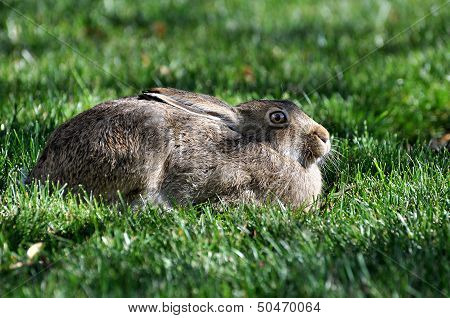 Rabbit on Lawn