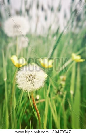 Dandelions And Buttercups
