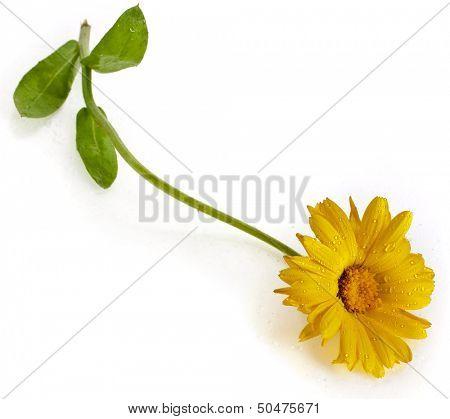 blossom of calendula close up macro isolated on white background