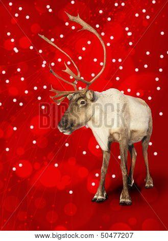 Caribou Reindeer On Red