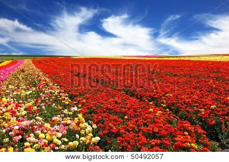 Boundless rural field with flowers red garden buttercups. Strong wind blows clouds across the sky. Flowers are grown for sale and trade