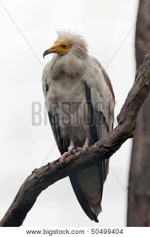 The Egyptian Vulture, Also Called The White Scavenger Vulture Or Pharaoh's Chicken