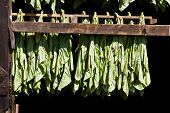 foto of tobacco barn  - Connecticut tobacco leaves air drying in a barn - JPG