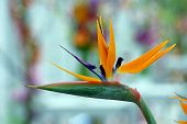 foto of bird paradise  - Bird of paradise strelitzia reginae beautiful flower - JPG