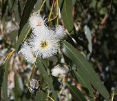 image of eucalyptus trees  - Closeup of Eucalyptus globulus with flowers and leaves