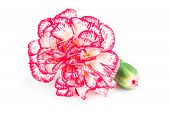 stock photo of carnations  - Blooming carnation flower isolated on white background