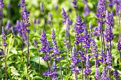 image of blue-salvia  - Meadow with blooming Blue Salvia herbal flowers - JPG