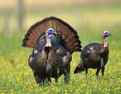 foto of gobbler  - Wild turkey in a meadow in Great Smoky Mountain National Park