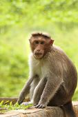 Adult Indian Rhesus Macaque Monkey(macaca Mulatta) Looking At Th