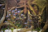picture of piranha  - Some Orange Piranhas into the Hot Tropical Water - JPG