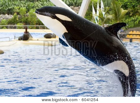 A Killer Whale, Orcinus Orca, Leaping From The Water