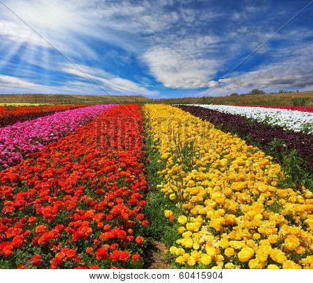 Garden buttercups /ranunculus/  bloom bright contrasting colors picturesque lanes. Phenomenally beautiful multi-colored flower fields. Strong wind drives the clouds