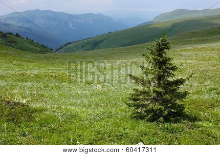 a young fir lonely in a verdant glade of
