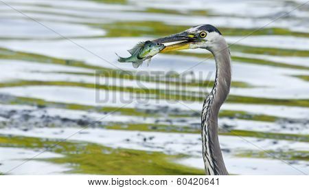 Great Blue Heron Catches A Bluegill.