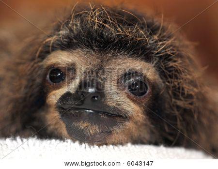 three toed sloth baby, costa rica