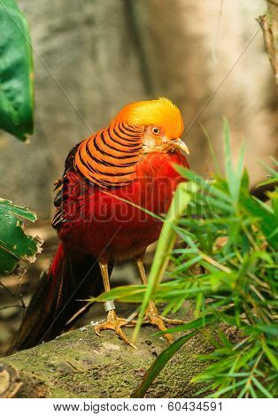 Pheasant Golden