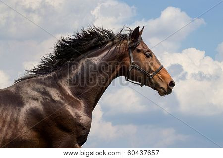 Portrait of galloping horse