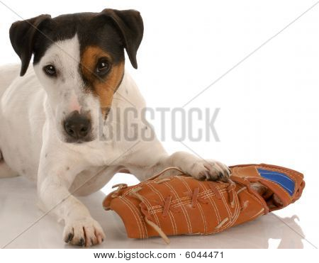 Jack Russel With Baseball Glove