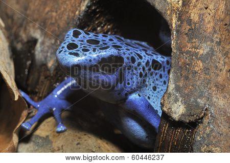 Blue Poison Frog