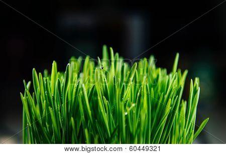 Patch Of Fresh Green Grass