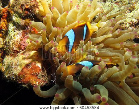 Anemonefish couple in anemone