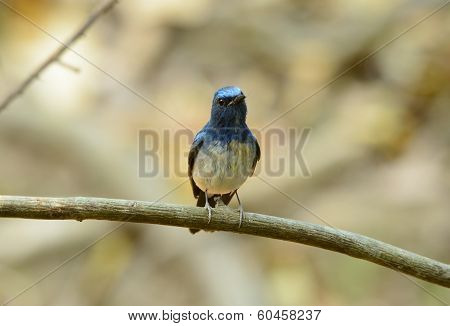 Male Hainan Blue Flycatcher